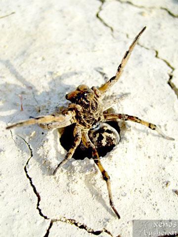 """Паяк-вълк -<b><i> Lycosa tarantula.</b><br /> 20.04.2008 – Около водонапоителния канал под кв. Дивдядово. </i>"""" width=""""300″ height=""""400″></a></p> <p style="""