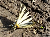 Лястовича опашка - <b><i>Iphiclides podalirius.</i></b> <br/>20.04.2008 - Около Марашкия язовир.