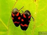 """Кървава цикада - <b><i>Cercopis vulnerata</i></b>. <br/>01.05.2008 - Под преливника на язовир """"Суар"""" (Марашкия язовир)."""