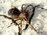 Паяк-вълк - <b><i>Lycosa tarantula.</b> <br>20.04.2008 - Около водонапоителния канал под кв. Дивдядово.</i>