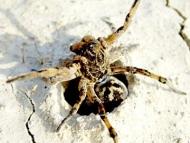 Паяк-вълк -<b><i> Lycosa tarantula.</b> <br>20.04.2008 - Около водонапоителния канал под кв. Дивдядово. </i>