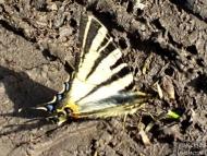 Лястовича опашка - <b><i>Iphiclides podalirius.</b> <br>20.04.2008 - Около Марашкия язовир. </i>