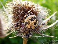 """Паяк-кръстоносец - <b><i>Araneus foliatus</b>. <br>01.05.2008 - Под преливника на язовир """"Суар"""" (Марашкия язовир) </i>"""