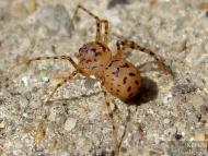 Плюещ паяк - <b><i>Scytodes thoracica</b>. <br>01.05.2008 - кв. Дивдядово.</i>