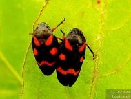 """Кървава цикада - <b><i>Cercopis vulnerata</b>. <br>01.05.2008 - Под преливника на язовир """"Суар"""" (Марашкия язовир).</i>"""