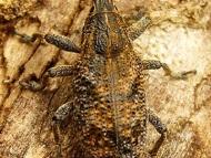 """Хоботник Клеонус - <b><i>Cleonus pigra</b>. <br>01.05.2008 - Под преливника на язовир """"Суар"""" (Марашкия язовир).</i>"""