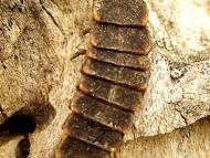 Ларва на светулка - <b><i>Lampyris noctiluca</b> (larva). <br>01.05.2008 - Водонапоителния канал под кв. Дивдядово. </i>