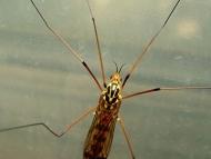 Комар от рода <b><i>Tipulidae</b> <br>06.05.2008 - кв. Дивдядово.</i>