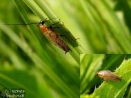 Хлебарка - <b><i>Ectobius lapponicus</b> <br>Под стената на язовир Суар. 18.05.2008.</i>