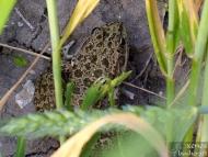 Голяма водна жаба - <b><i>Pelophylax ridibundus</b> <br>Язовир Суар. 18.05.2008.</i>