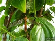 Комар - <b><i>Tipula lunata</b> <br>Под стената на язовир Суар. 18.05.2008.</i>