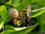 Крабовиден паяк - <b><i>Xysticus cristatus</b> <br>Под стената на язовир Суар. 18.05.2008</i>