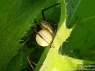<b><i>Pisaura mirabilis</b> с пашкул. <br>Под стената на язовир Суар. 18.05.2008.</i>