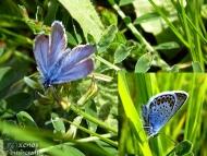 Синевка - <b><i>Lysandra coridon</b> <br>До водонапоителния канал под кв. Дивдядово. 18.05.2008.</i>