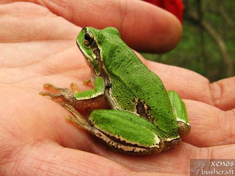 Среща на Мадарското плато - 16-17.04.2011 - Дървесна жаба