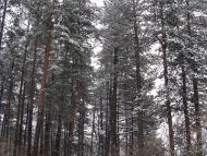 Среща на Кръстец - 22-23.01.2011 - Заснежени борове