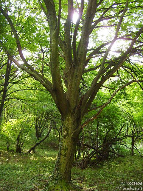 Шуменско плато - 17.07.2009 - Едно от по-старите дървета