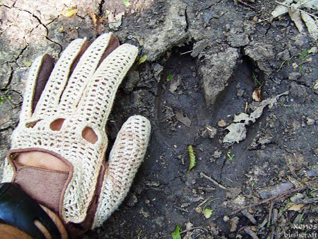 Шуменско плато - 17.07.2009 - Следа от дива свиня