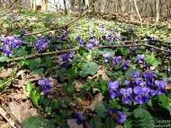 Виолетовата полянка ; Фотоотчет - 27.03.2010 ; 5/22