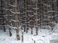 Зимна борова горичка