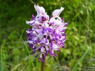 Orchis militaris - Орхидея