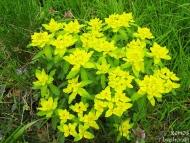 Слънчеви цветя - Шуменското плато - 25.04.2010