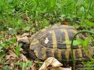 Шипоопашата костенурка - Шуменското плато - 25.04.2010