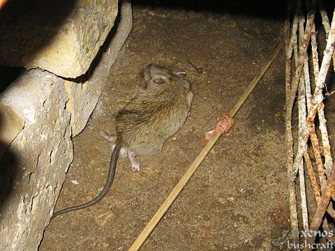 paiute_deadfall-rat_kill-04.jpg