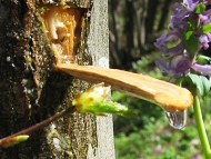 Сок от габър - Дупката в кората и клечката за събиране на капките
