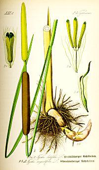 typha_latifolia