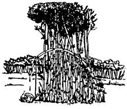 Добиване на вода от бамбук
