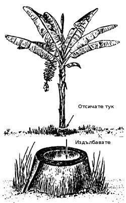Добиване на вода от бананово дръвче