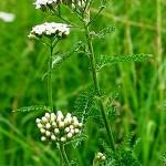 Бял равнец (Achillea millefolium) - Стъбло