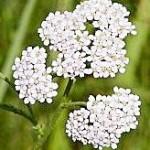 Бял равнец (Achillea millefolium) - Цветове