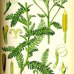 Бял равнец (Achillea millefolium) - Цялостен вид