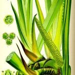 Аир,акорус (Acorus calamus) - Цялостен вид