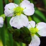 Жиловлековидна лаваница (Alisma plantago-aquatica) - Цвят