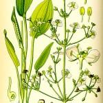 Жиловлековидна лаваница (Alisma plantago-aquatica) - Отличителни белези