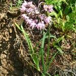 Див лук (Allium cernuum) - Външен вид