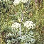 Горска пищялка (Angelica silvestris) - Външен вид