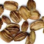 Горска пищялка (Angelica silvestris) - Семена