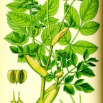 Горска пищялка (Angelica silvestris) - Отличителни белези