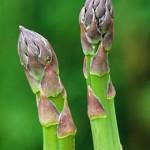 Аспарагус,Зайча сянка (Asparagus officinalis) - Млади стръкове