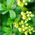 Кисел трън (Berberis vulgaris) - Цвят