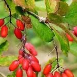 Кисел трън (Berberis vulgaris) - Плод