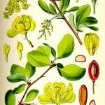 Кисел трън (Berberis vulgaris) - Отличителни белези