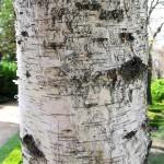 Бреза (Betula pendula) - Кора