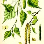 Бреза (Betula pendula) - Отличителни белези