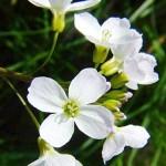 Горва ливадна (Cardamine pratensis) - Цвят