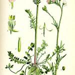 Горва ливадна (Cardamine pratensis) - Отличителни белези